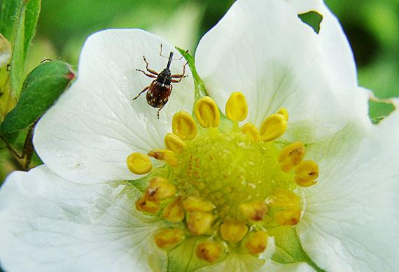 Долгоносик на цветке земляники