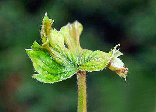 Признаком поражения клубники земляничным клещом является деформация листьев