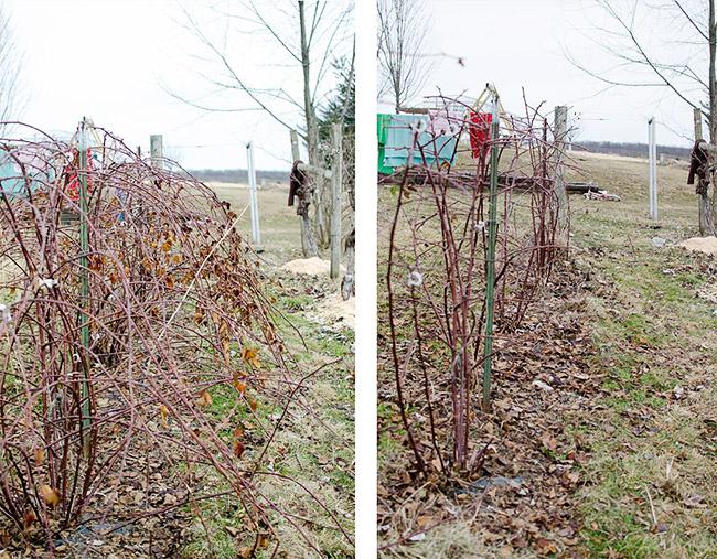 Ежевика до и после обрезки весной