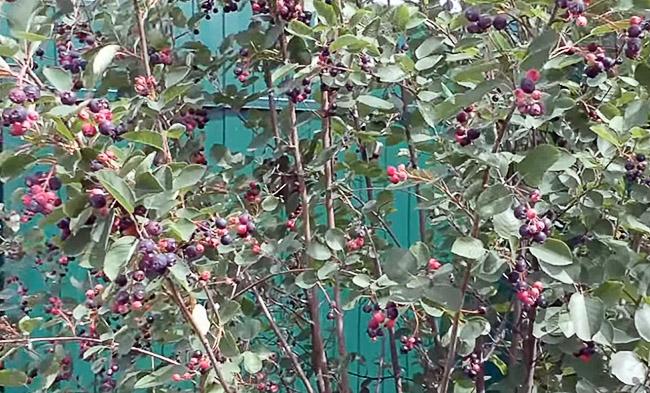 Куст ирги с ягодами