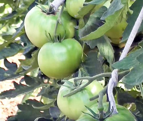 Крупные зеленые помидоры на ветви