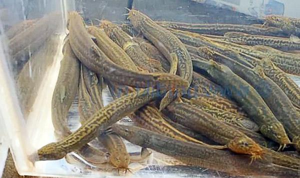 Рыбы вьюн