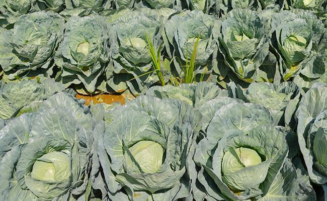 ряды кочанов капусты