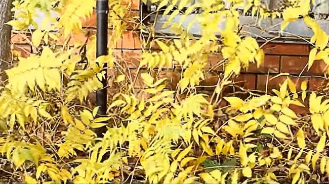 Желтые листья рябинника осенью