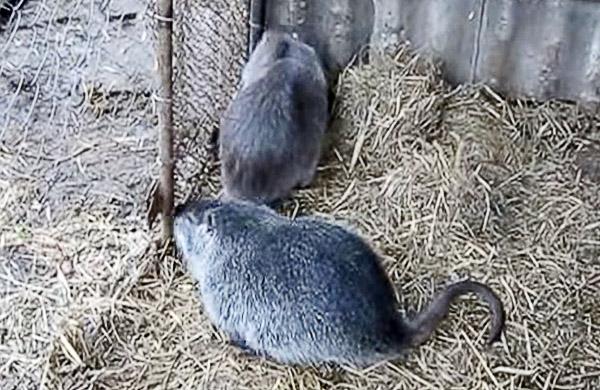 Самец и самка нутрии во время случки