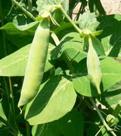 Вторая группа культур, это бобовые и однолетние травы и цветы