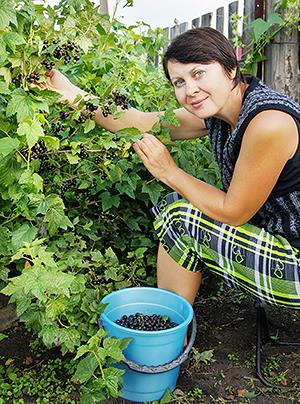 Сбор уроожая черной смородины