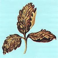 Лист, поврежденный паутинистым клещем