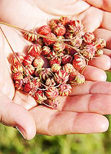 Лечебные свойства лесной земляники