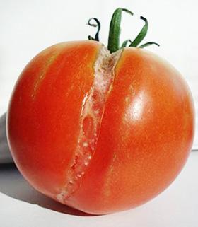 Треснувший помидор