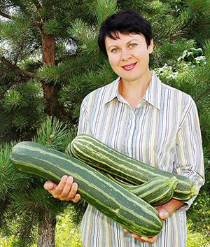 Урожай кабачков