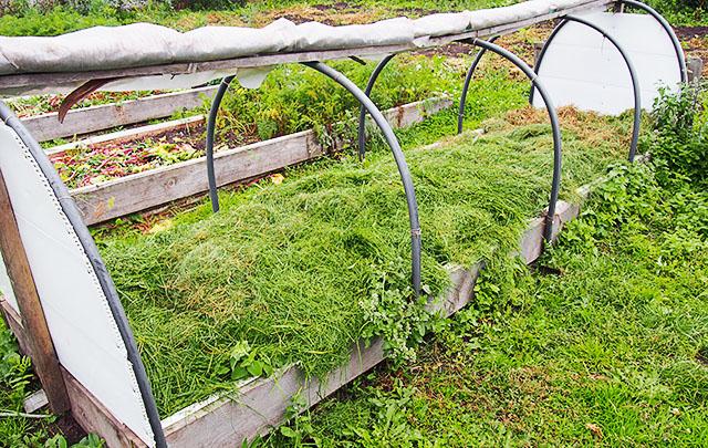 Скошенная с газона трава в качестве мульчи на огуречной грядке