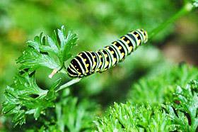 гусеница бабочки черного махаона