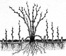 Получение укоренившихся черенков черной смородины