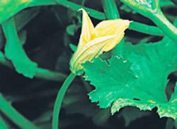 Мужской цветок тыквы
