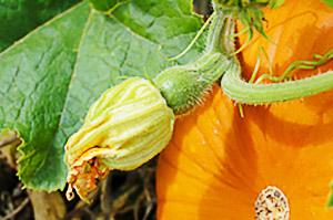 Женский цветок тыквы