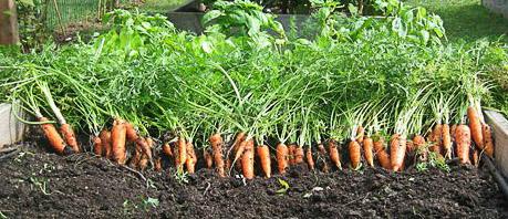 морковь желательно подкормить азотными удобрениями