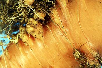 Морковь, поврежденная галловой нематодой