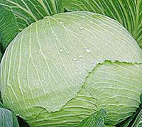 капуста Грибовский