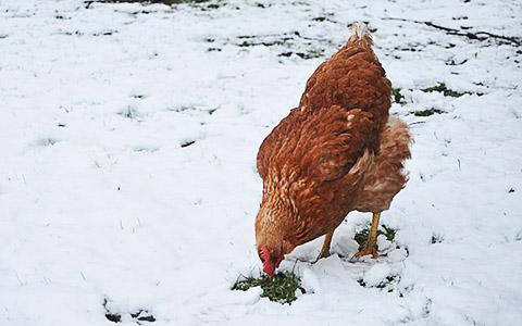 Как содержать кур в зимний период