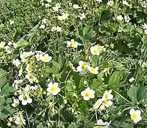 Посадки садовой земляники (клубники)