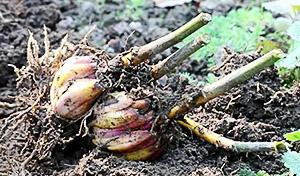 у лилии обрезаются стебли на высоте 5-7 см от земли