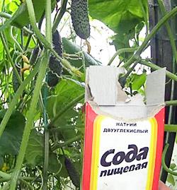 Применение соды при выращивании огурцов