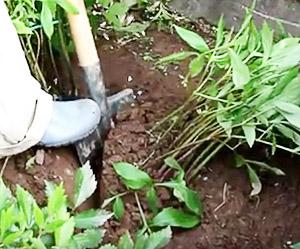 Опкапывание куста пиона