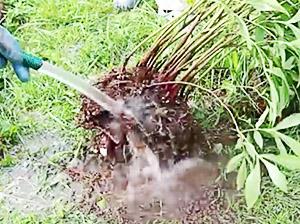 Надо отмыть корни пиона от земли