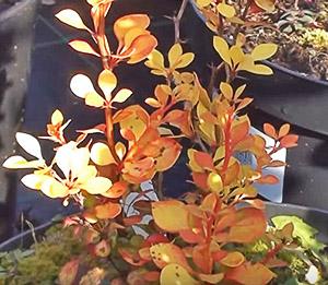 Выращивание декоративного барбариса