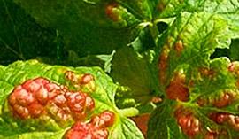 Смородина зараженная красногалловой тлёй