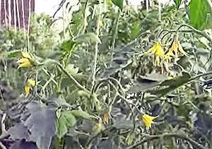 Томаты во время цветения