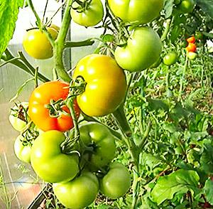 Ветвь томатов в теплице