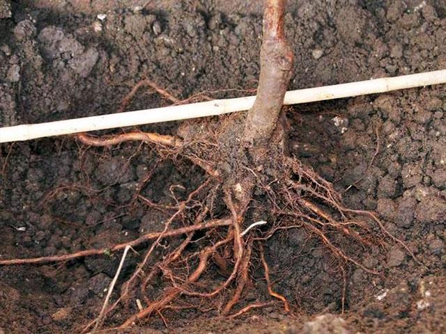 Посадочные ямы под пересадку малины осенью