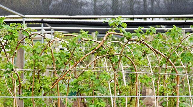 Перед зимой малину можно пригибать к шпалерам