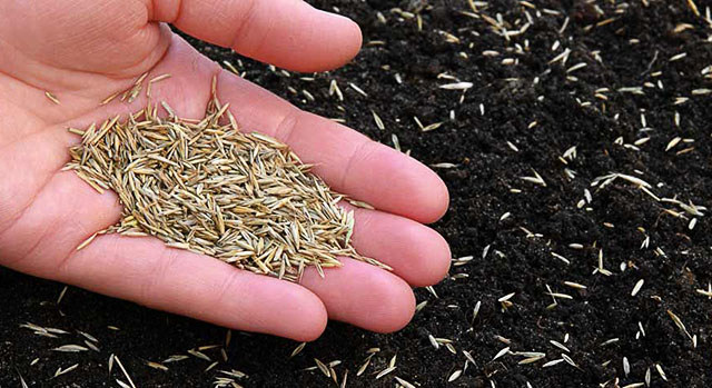Мужчина держит семена газонной травы