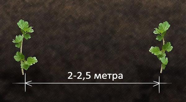 Расстояние между кустами крыжовника
