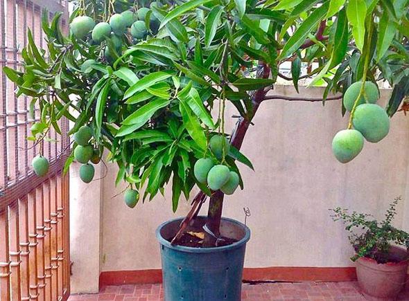 Манго в домашних условиях с плодами