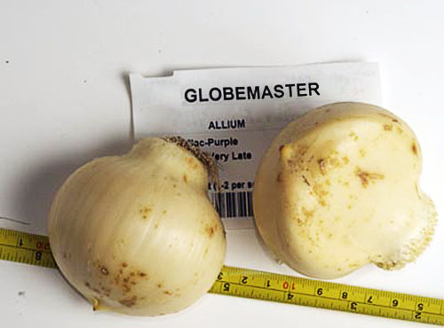 Луковицы аллиума сорта Глоубмастер
