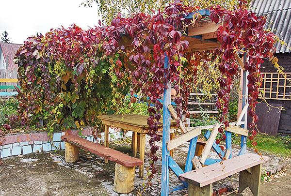 Девичий виноград, пущенный по перголе