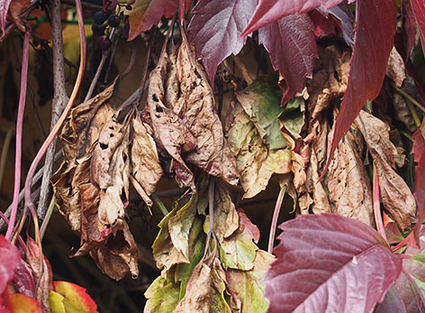 Листья девичьего винограда, побитые заморозком