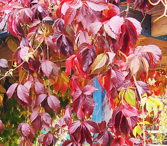 Девичий виноград на беседке осенью