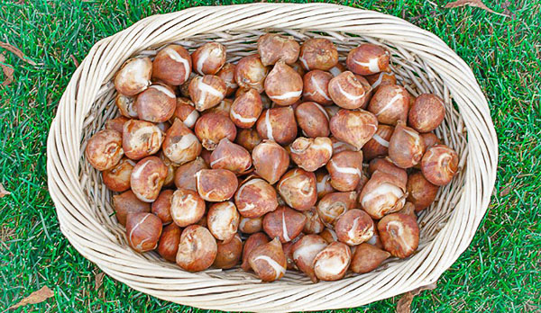 Луковицы тюльпанов, приготовленные для посадки осенью на даче