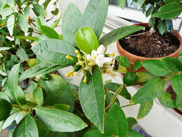 Цветущий лимон в домашних условиях