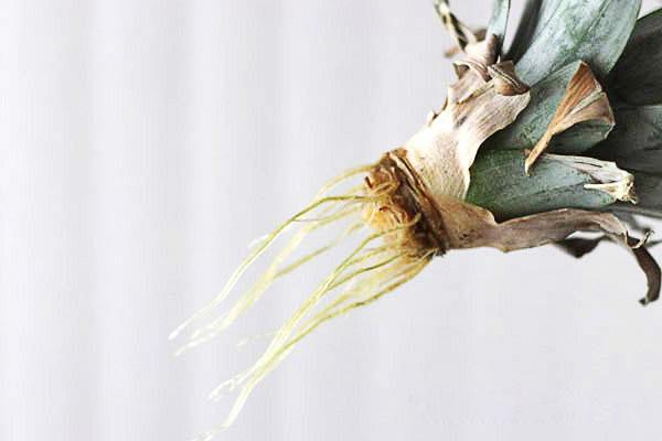 Верхушка ананаса с корнями