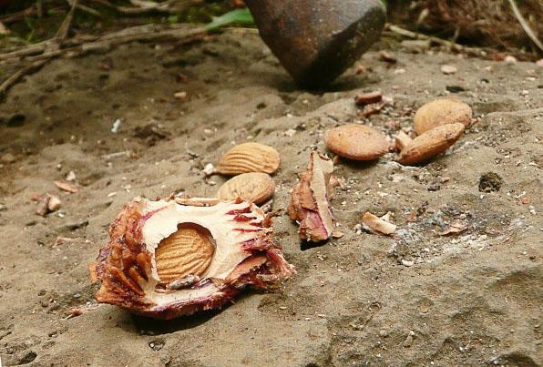 Нектариновое семя из разбитой косточки