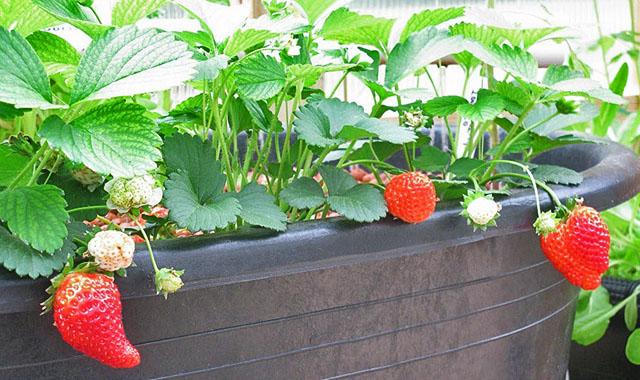 Клубника, выращиваемая на подоконнике дома