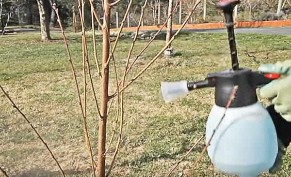 Осенняя обработка плодовых деревьев в саду