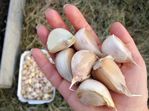 Крупные зубчики чеснока для посадки осенью на даче
