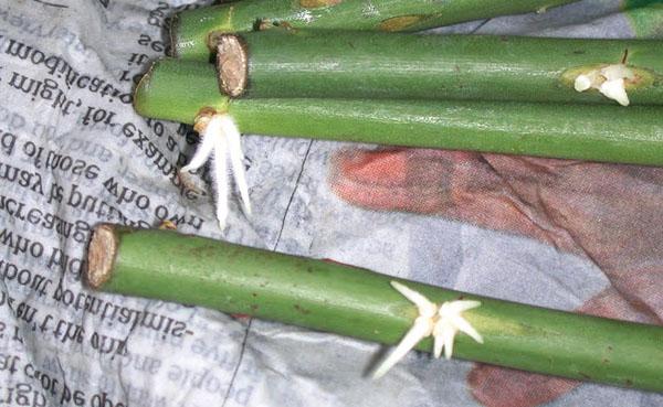 Укоренение черенков роз в мокрой газете